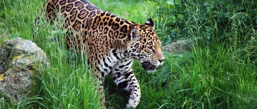 jaguar walking in Nicaragua